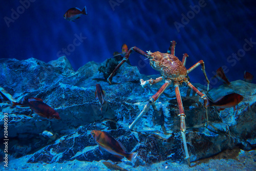 Japanese king crab in aquarium Wallpaper Mural