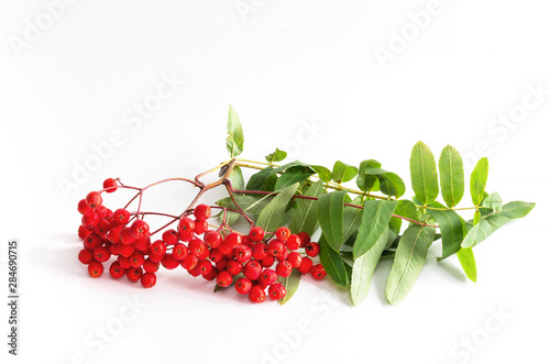 Photo Red ripe bunch of rowan with green rowan leaves on white background