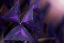 Purple Shamrock, Love Plant) (...