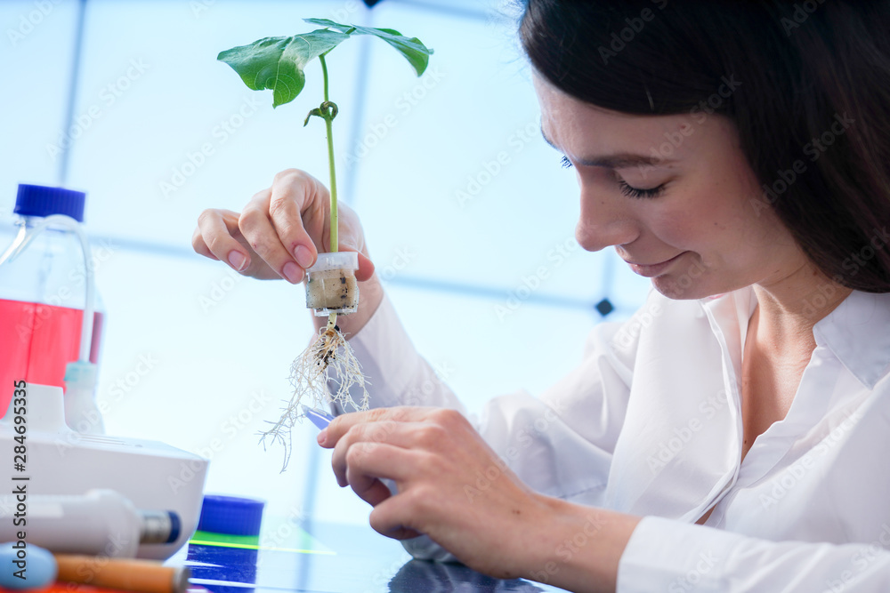 Fototapety, obrazy: study of plants grown by the method of hydroponics. The girl in the laboratory checks the plant