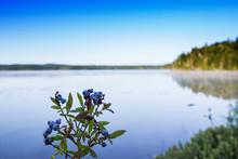 Wild Blueberries ,Vaccinium An...