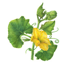 Branch With Yellow Flower And  Leaves Pumpkin. Watercolor Hand Drawn Painting Illustration, Isolated On White Background.