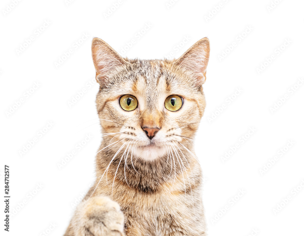 Fototapety, obrazy: Portrait of cute cat, staring at camera.