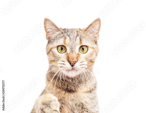 fototapeta na ścianę Portrait of cute cat, staring at camera.