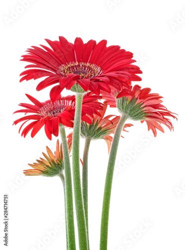 Poster de jardin Gerbera Bouquet of red gerberas on a white background, close-up.