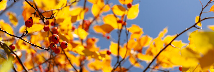 Yellow and red autumn leaves of a tree against blue sky. Fall foliage in sun.