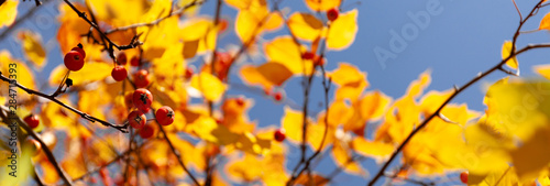 Obraz Yellow and red autumn leaves of a tree against blue sky. Fall foliage in sun. - fototapety do salonu