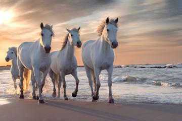 Obraz na Szkle Optyczne powiększenie White horses in Camargue, France.