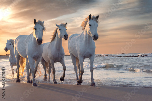 Spoed Fotobehang Zalm White horses in Camargue, France.