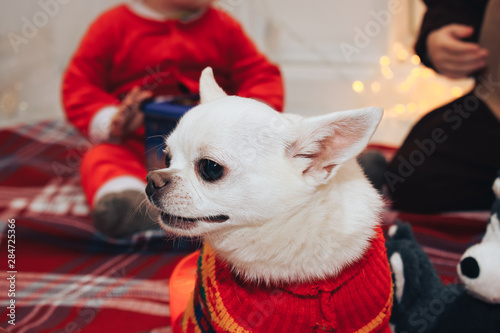 Stickers pour portes Panda White little dog dressed in a red sweater