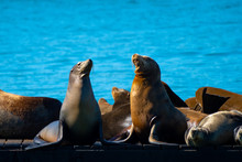 Pier 39, Fishermans/ Fisherman's Wharf. Group Of California Sea Lions/ Seals Relaxing, Sunbathing And Barking On A Pier By The Ocean In San Francisco On A Sunny Summer Day.