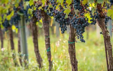 Weintrauben blau Hintergrund