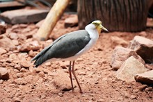 The Masked Lapwing (Vanellus Miles), Also Known As The Masked Plover, The Spur-winged Plover Or Just Plover. Family: Charadriidae.