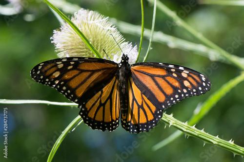 Fototapeta  Butterfly 2019-91 / Monarch butterfly (Danaus plexippus)