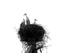Close-up Of A Stork Bird Nest On An Electric Pole