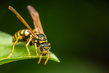 Closeup Of A Wasp On A Plant In The Garden