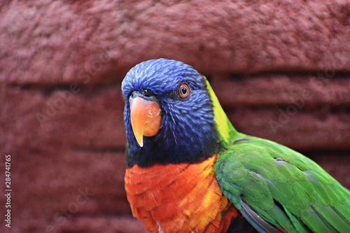 The Rainbow Lorikeet (Trichoglossus Moluccanus) is a species of parrot in the family Psittaculidae Canvas Print