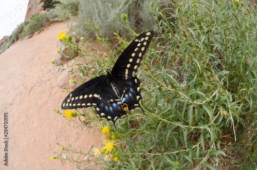 Butterfly in Desert