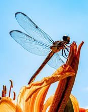 Dragonfly On An Iris