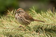 Song Sparrow In USA