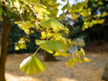 Maidenhair Tree Leaves Are Turned Yellow In Fukuoka Prefecture, JAPAN.
