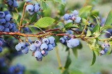 Blueberries Ripening On The Bu...