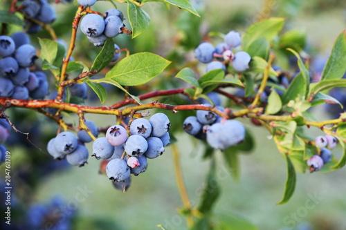Fotografía Blueberries ripening on the bush