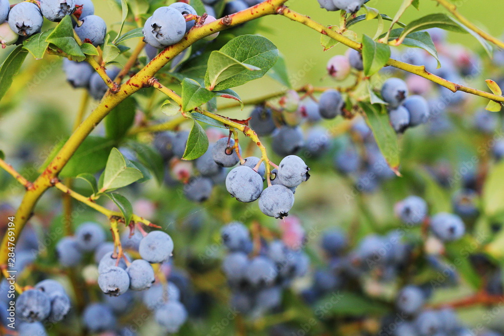 Fototapety, obrazy: Blueberries ripening on the bush. Shrub of blueberries. Growing berries in the garden. Close-up of blueberry bush, Vaccinium corymbosum.