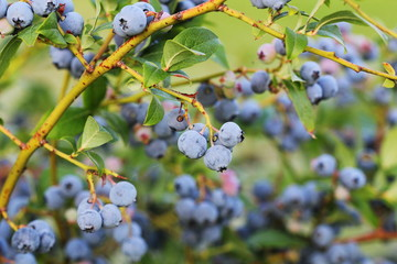 Blueberries ripening on the bush. Shrub of blueberries. Growing berries in the garden. Close-up of blueberry bush, Vaccinium corymbosum.
