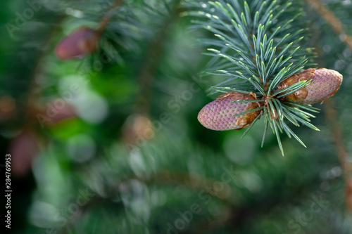 Green coniferous background. Canvas Print