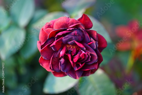 Beautiful Rose flower in the garden Wallpaper Mural