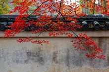 Autumn Scenery Of Fiery Maple ...