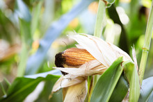 Pumpkins Of Corn Grow In The Field