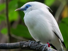 Close Up Of A Balinese Starling In Bali