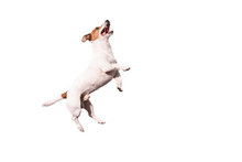 Funny Jack Russell Terrier Dog Jumping Up Isolated On White Background