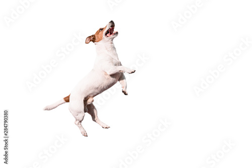 Obraz na plátně  Funny Jack Russell Terrier dog jumping up isolated on white background