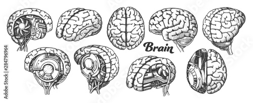 Obraz Collection In Different Views Brain Set Vector. Many Kinds And Modification Of Cyber And Human Brain. Anatomy Medical Neurology Element Hand Drawn In Vintage Style Monochrome Illustrations - fototapety do salonu