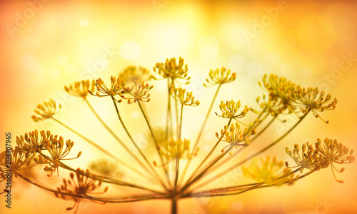 Melon Autumn flower background. Silhouettes of inflorescences of umbelliferous plant against sunset background. Autumn nature.