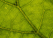 Background image of a leaf of a tree close up