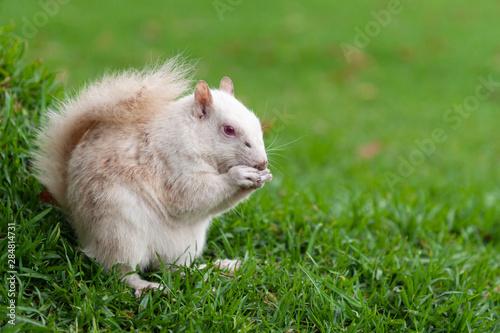 Fotografia, Obraz  Albino squirrel in a park