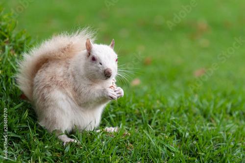 Fototapeta  Albino squirrel in a park