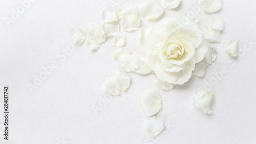 Obraz na plátně  Beautiful white rose and petals on white background