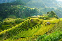 Terraced Rice Field In Harvest...