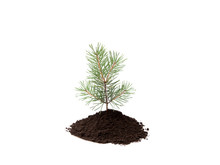 Small Pine Tree In Pile Of Soi...