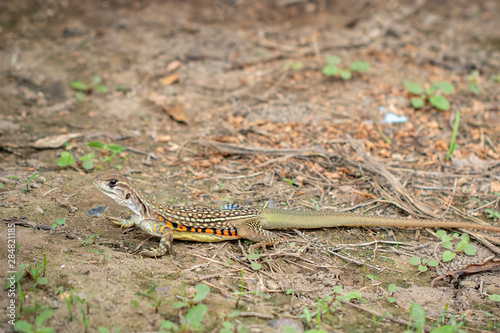 Fotografie, Obraz Image of Butterfly lizards or Small-scaled lizards or Ground lizards or Butterfly agamas on the ground