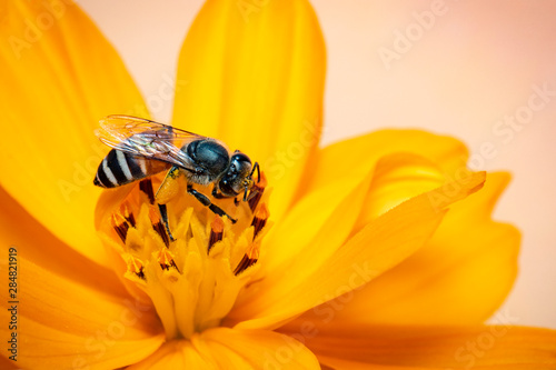 Photo Image of little bee or dwarf bee(Apis florea) on yellow flower collects nectar on a natural background