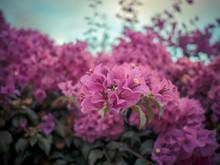 Close Up Of Violet Bougainvillea Blossoms, Bougainvillea Flowers In The Garden, Beautiful Purple Flower.