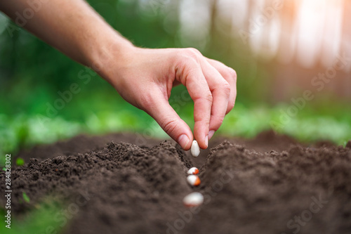 Hand planting beans seed in the vegetable garden Canvas