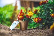 Shovel And Pot With Marigold Flowers For Planting In Home Garden. Gardening And Floriculture. Flower Care