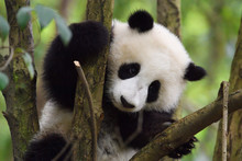 Close Up Of A Giant Panda In A Tree